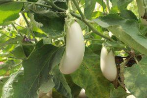 aubergine blanche bio