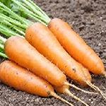 semences carottes Bio de l'Atelier des Bons Plants