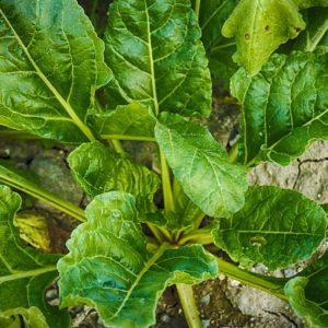 Epinard Bio de l'Atelier des Bons Plants
