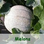 Melons-Pastèques