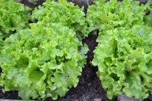 semences laitue Bio de l'Atelier des Bons Plants