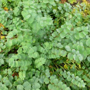 semences pimprenelle Bio de l'Atelier des Bons Plants