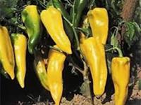 semences piment Bio de l'Atelier des Bons Plants