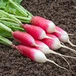 semences radis Bio de l'Atelier des Bons Plants