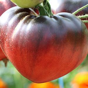 tomate coeur de boeuf bleue l'Atelier des Bons Plants