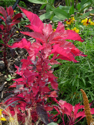 graines-amarante-rouge-bio
