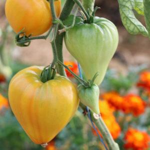 Tomate Bio Coeur de Boeuf Ananas