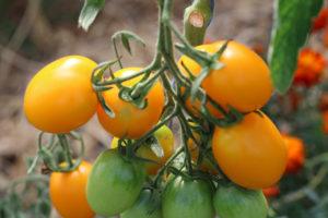 Tomate Bio de Barao Gold