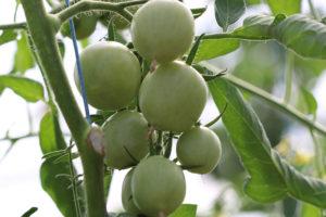 Tomate Bio Jaune Flammée