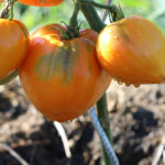 Tomate Bio Coeur de Boeuf Orange