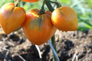 Tomate Bio Coeur de Boeuf Orange