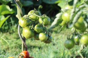 Tomate Bio Black Zebra