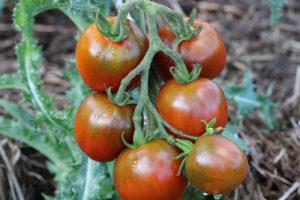 Tomate Bio noire Russe