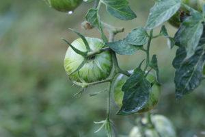 Tomate Bio Green Zébra