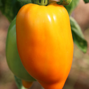 Tomate Bio Cornue des Andes jaune