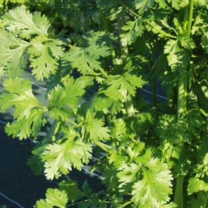 coriandre-atelier-des-bons-plants