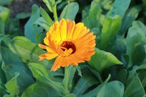 fleur de calendula bio