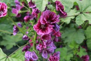 Fleur de Mauve Bio