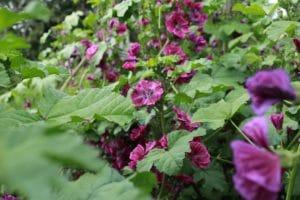 fleur de mauve sylvestre bio