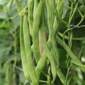 haricots-neckarkonigin