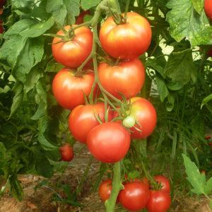 Tomate Bio Rose de Berne