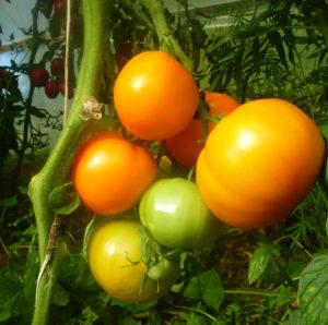 Tomate Bio Jaune de Belgique