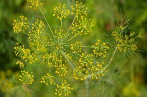 Aneth Bio Atelier des bons plants
