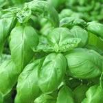 semences basilic Bio de l'Atelier des Bons Plants