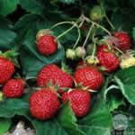 semences fraises Bio de l'Atelier des Bons Plants