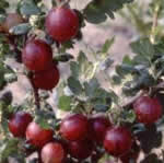 semences petits fruits Bio de l'Atelier des Bons Plants