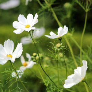 Cosmos Bio Blanc