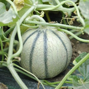 melon-charentais-bio