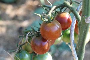 Tomate cerise noire Bio