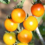 Tomate cerise orange Bio