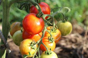 Tomate Tigarelle Bio