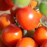 Tomate Bio Cerise rouge