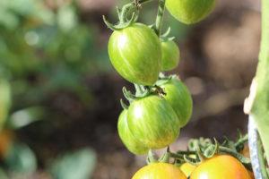 Tomate cerise Ananas Bio