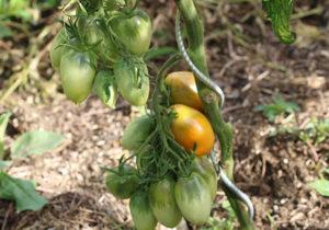 Tomate cerise jaune Banane Bio