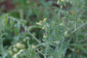 Tomate Bio Barbaniaka