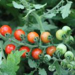 graines-Tomate Bio Barbaniaka