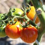 Tomate Bio Red Zebra