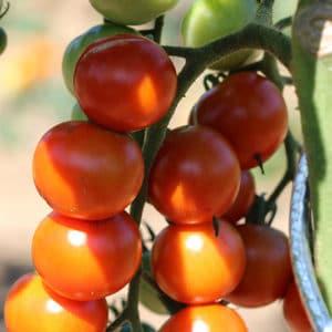 Tomate cerise Miel du Mexique Bio