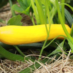 semences courgette gold rush jaune bio