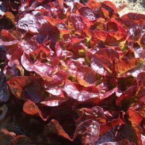 Laitue Feuille de Chêne rouge Bio