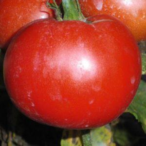 graines-tomate-merveille-des-marchés-bio