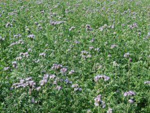 phacélie engrais vert