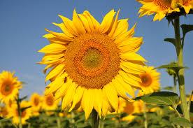tournesol-jaune-fleur