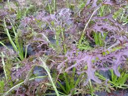 Salade Mizuna rouge Bio