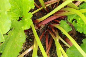 plants et graines de rhubarbe rouge bio