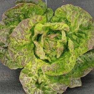 Graines de salade laitue Merveille des 4 Saisons bio